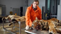 Examining a tiger and a lion