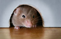 how to get rid of field mice in my house