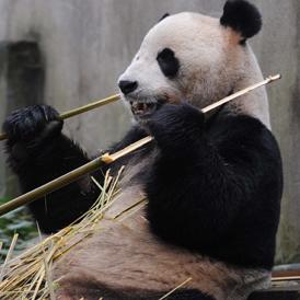 Giant Panda Yang Guang (Sunshine) enjoys his meal of bamboo shoots (Getty)