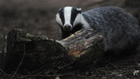 Badgers in England (R)