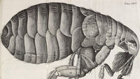 Illustration of a flea from Robert Hooke's Micrographia, featured in the Treasures of the Bodleian exhibition. (Copyright Bodleian Libraries, University of Oxford)