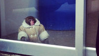 Well-dressed monkey goes shopping in Ikea