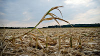 drought hit corn crops (getty)