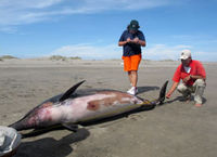 At least 900 dead dolphins have been washed up on Peru's shores.
