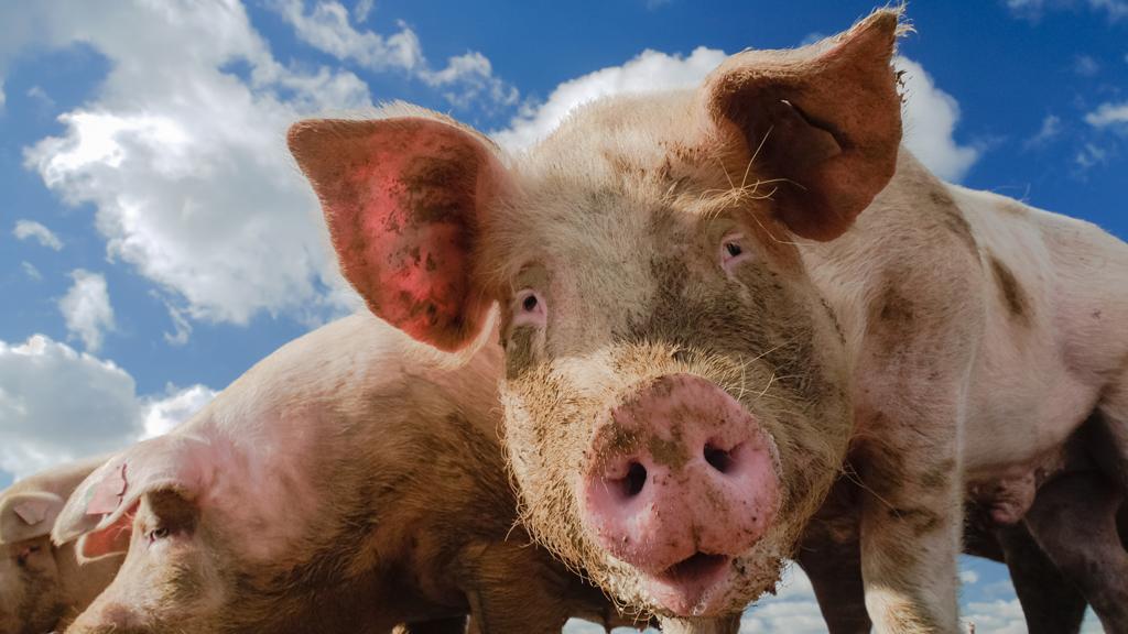 Pigs (Getty)