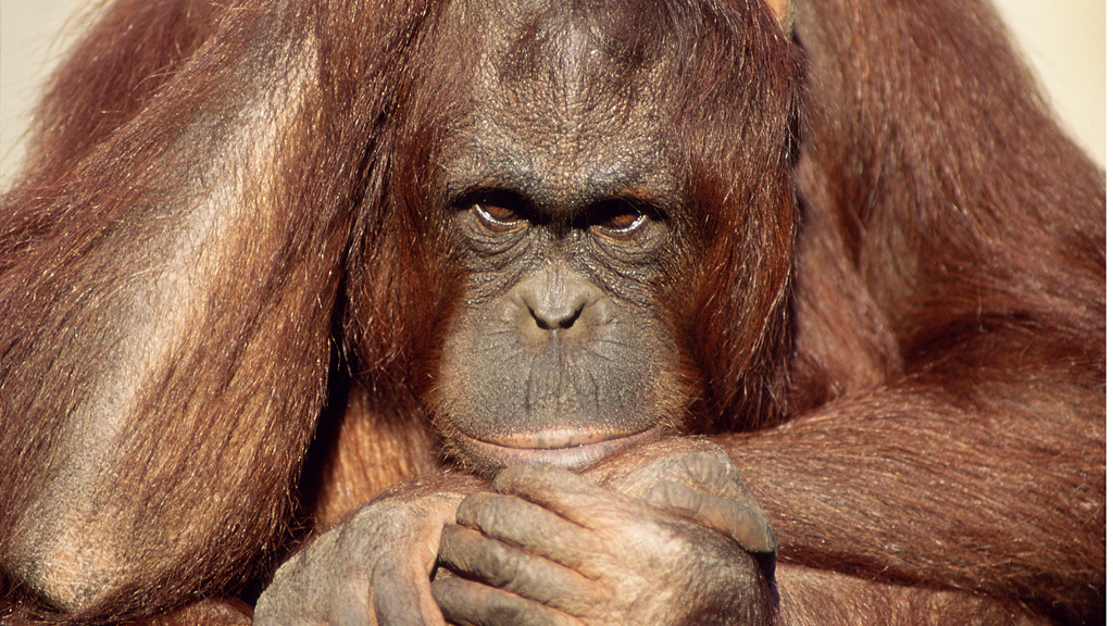 They may not acquire a taste for sports cars and flashy motorbokes when they hit middle age, but some great apes - like their human relatives - go through a midlife crisis, according to a new study.