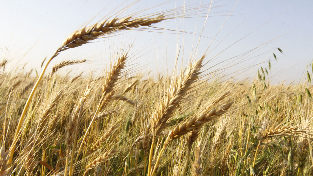 A group of international scientists has cracked the complex genetic code of wheat, offering the prospect of global food security in one of the worldâ??s most important crops.