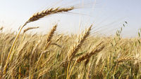 A group of international scientists has cracked the complex genetic code of wheat, offering the prospect of global food security in one of the world's most important crops.