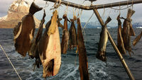 Fish strung up on board the SV Gambo steel-hulled research vessel owned by Aberwystwyth University's Dr Alun Hubbard.