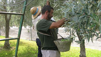 Traditional hand picking of olives