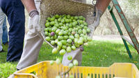 Basket of olives being poured out