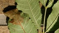 The disease, Chalara ash dieback, was first spotted in imported ash saplings about five years ago (Courtesy of the Forestry Commission)