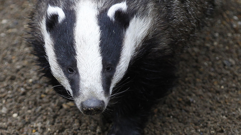 Natural England will issue the first of two licenses today to cull badgers in a move that could result in the shooting of up to 100,000 animals to protect cattle from bovine tuberculosis,