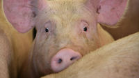 Nearly one third of British farmed pigs come under Freedom Food standard
