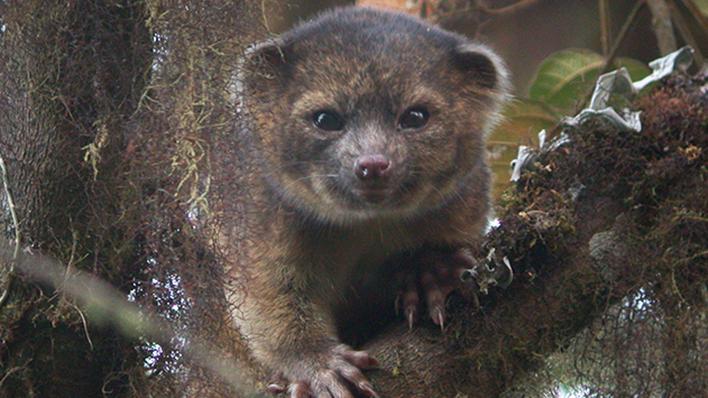 Olinguito (Smithsonian)