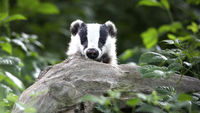 Badger cull begins in the west country, amid protests (R)