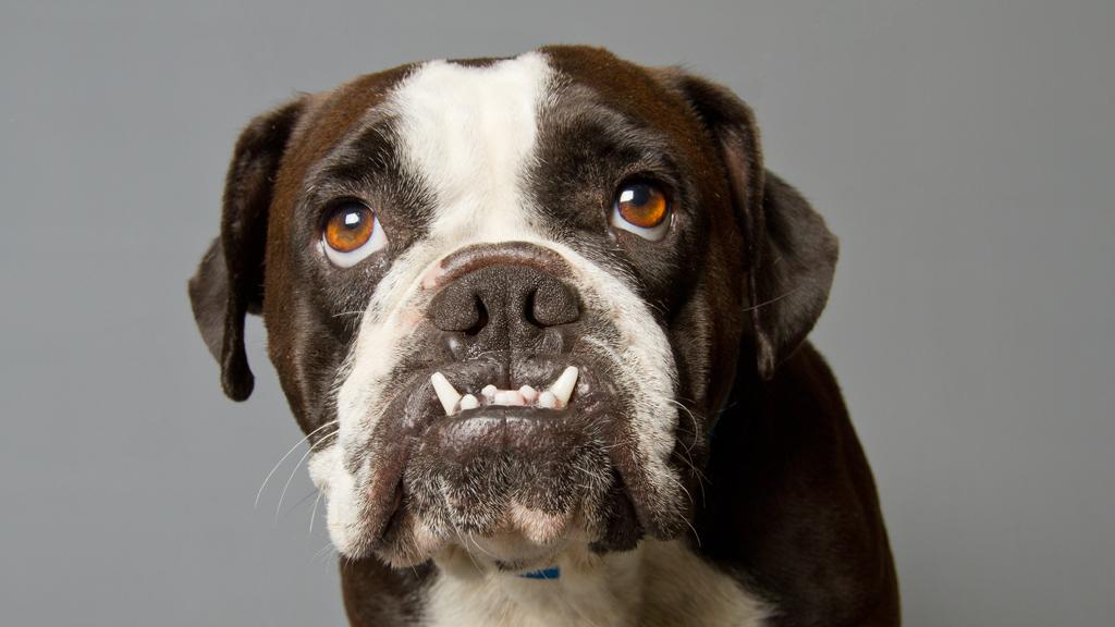 Is the British bulldog dead? (Getty)