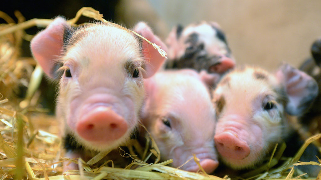 Piglets (getty)