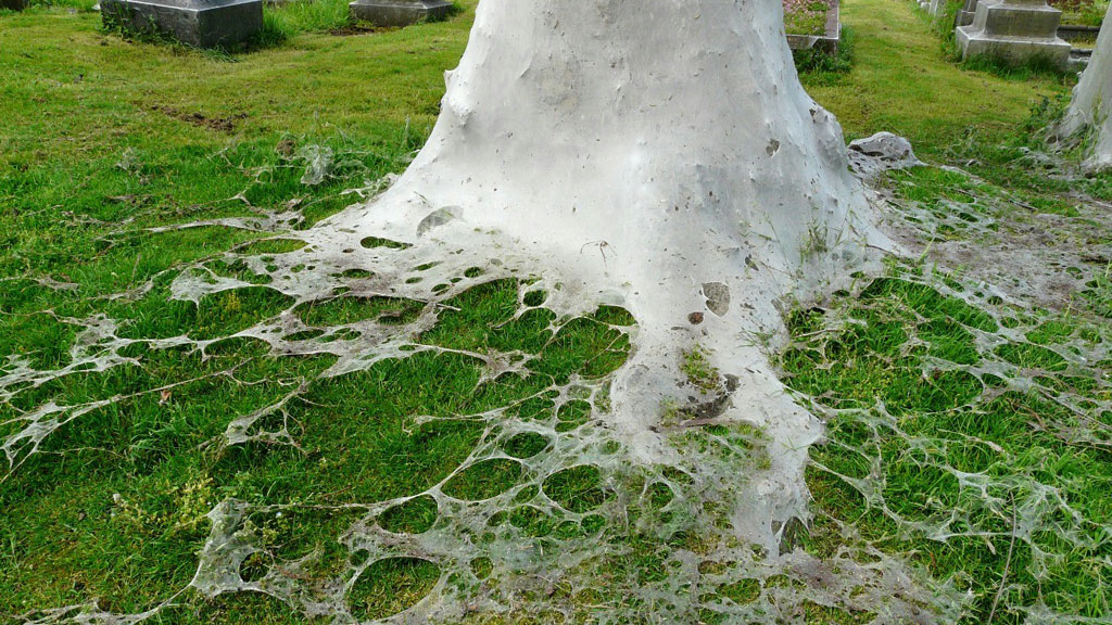 Moth webs at the base of a cemetery tree