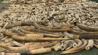Elephant tusks wirth and estimated ten million dollars are destroyed in the Philippines