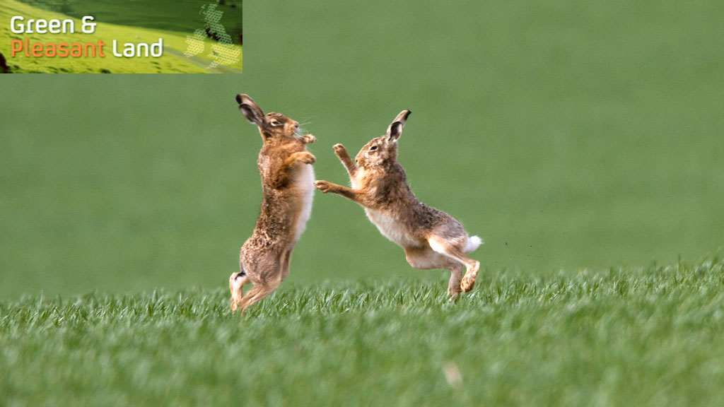 The brown hare population has been falling for many years as a result of shooting parties and habitat loss. Now conservationists are calling on the government to do more to protect the species (Getty)