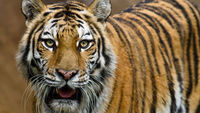 Zoo worker injured in tiger attack