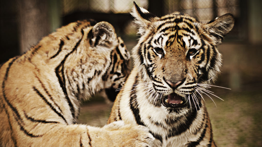 Tiger mauls zoo worker to death