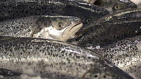 Bounty offered for escaped Norwegian salmon (Getty)