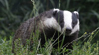 A badger in the wild (Reuters)