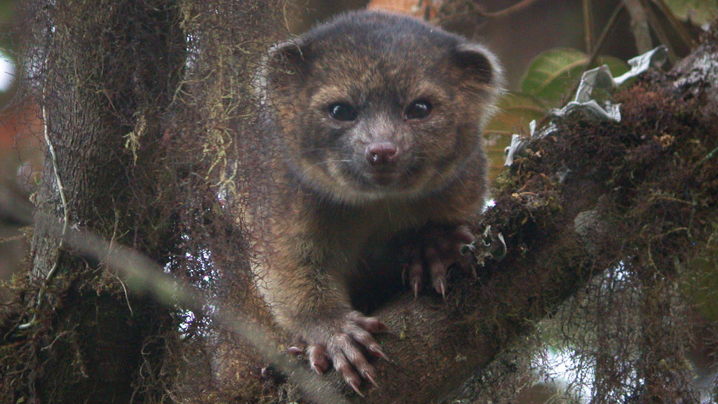 The newly described Olinguito of the Andean cloud forest (Mark Gurney / CC BY 3.0)