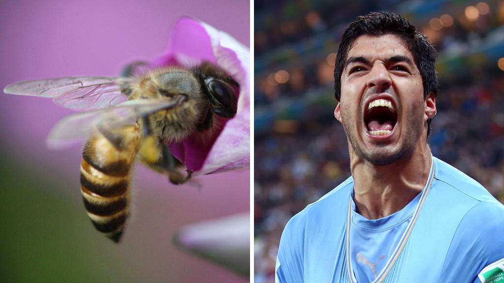 A honeybee and Luis Suarez