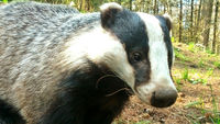 Government extends controversial badger cull into Dorset