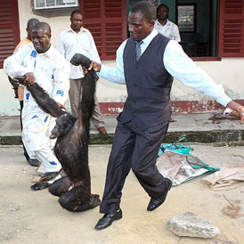 A smuggled chimpanzee is led away by investigators (PASA)