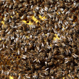 A bee colony (Getty)