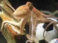2010 winner: Paul the octopus. (Reuters)