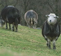 Sheep gene bank set up in face of foot and mouth disease