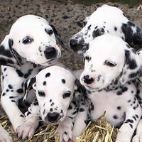 When Milly the dalmatian was taking for a scan her owners were told to expect around four puppies. When 16 arrived they had to get a letter from their vet to confirm the birth (Getty)