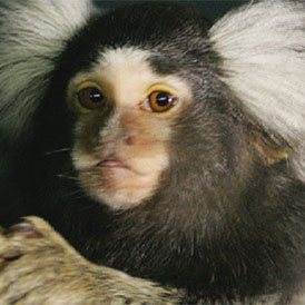 A marmoset, which can be used in scientific research (Reuters)