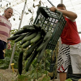 Farmers throw away cucumbers in Spain
