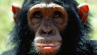 Chimps who spat and urinated to retrieve a peanut floating in a tube were replaying Aesop's ancient fable according to scientists (Getty)