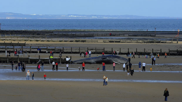 Wide view of Redcar beach where a 44 feet sperm whale died after becoming stranded