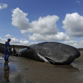 A sperm whale which died after becoming stranded on Redcar beach in north east England
