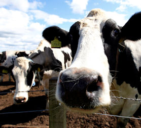 Cloned cattle meat and milk 'safe to eat' (Reuters)