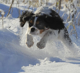 A dog jumps in the snow as the UK braces itself for further heavy snowfall (credit:Reuters)