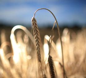 Biofuels from farmers crops. (Getty)