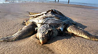 Animals struggling in BP oil spill aftermath (Reuters).